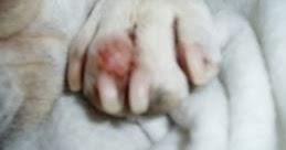 Interdigital Cyst Dog Natural Remedy
