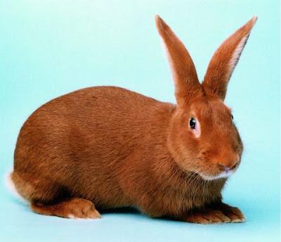 Gambar jenis kelinci new zealand red