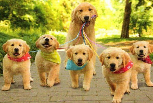 Cách chăm sóc cho chó mẹ trước, khi và sau khi mang thai