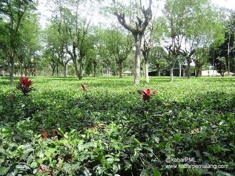 Wisata Pemalang - Agrowisata Kebun Teh Semugih