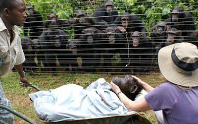 szympansy