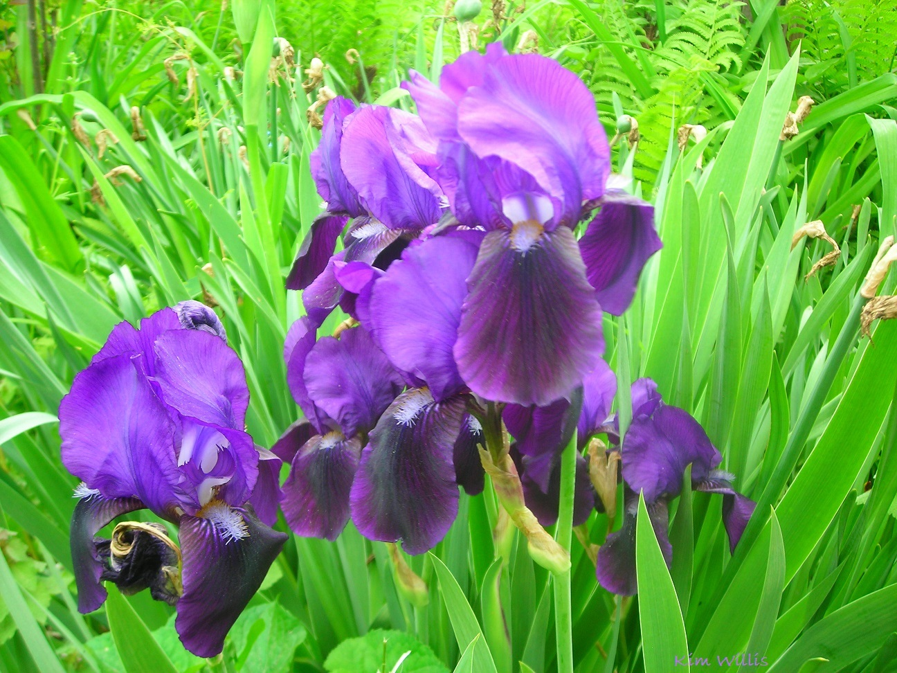 Gardening grannys gardening pages iris beardedgerman august and september are good months to divide your bearded iris as irises grow they make huge clumps of plants and as they get crowded your blooms will izmirmasajfo