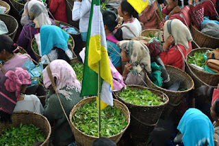 Darjeeling tea garden strike by gjm trade union