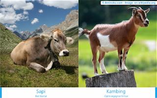 Perbedaan sapi dan kambing