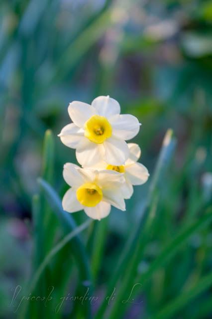 Il piccolo giardino di l bulbi a fioritura primaverile for Bulbi narcisi