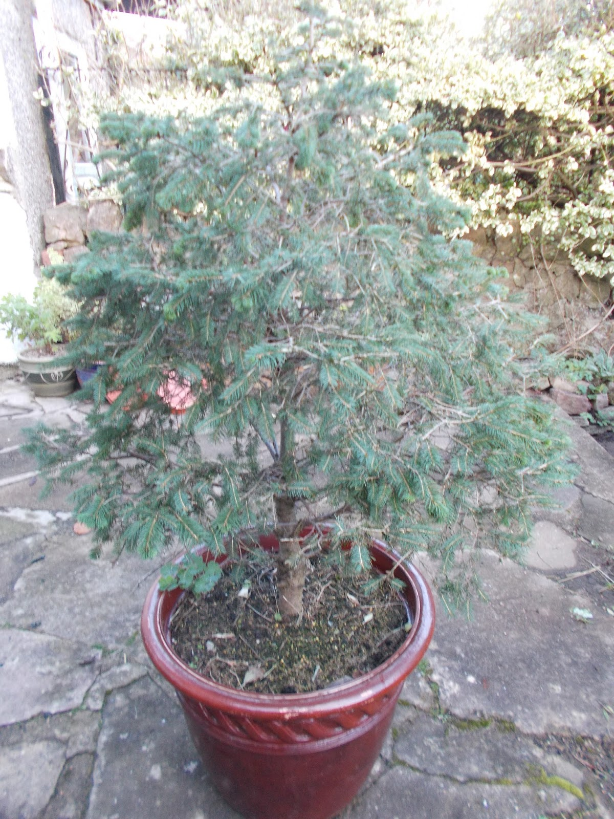 The Green Fingered Blog: Buy the right Christmas tree and never have to buy one again