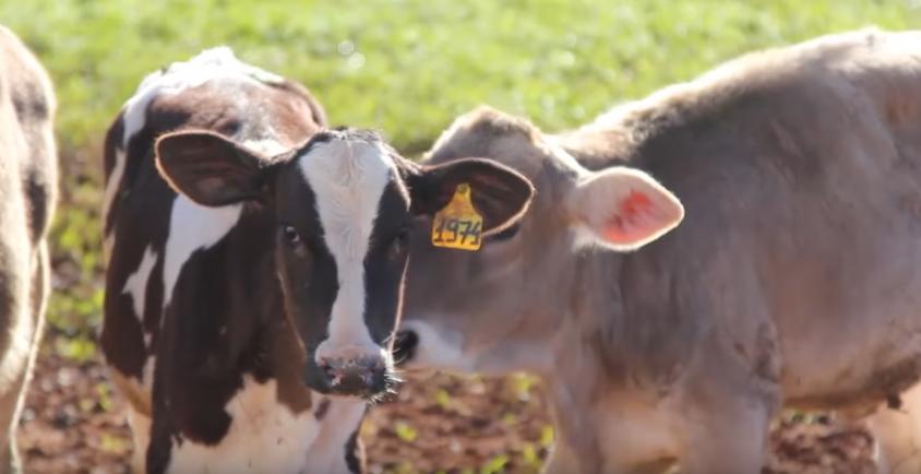 bovinos-bovine-ganado