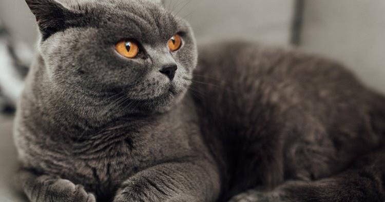 Kucing Domestik Mixdom Dan Ras
