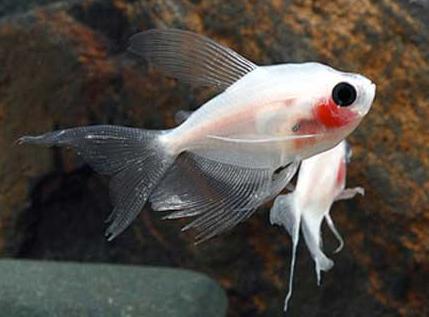 cá tỳ bà bướm thích hợp nuôi trong hồ thủy sinh