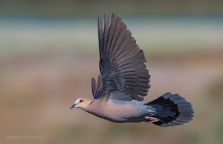 Red-Eyed Dove in Flight: Canon EOS 7D Mark II / EF 400mm f/5.6L USM Lens