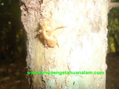 plungsungan serangga