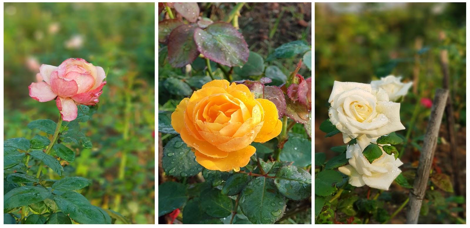 ดอกกุหลาบหลากสี