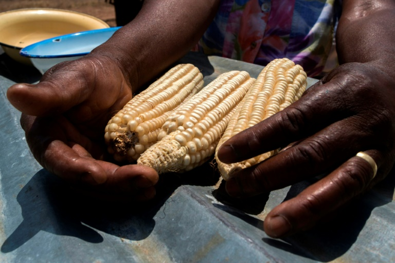 Essential for food security in large parts of Africa, maize is particularly vulnerable to the fall armyworm larvae, which burrow into the cobs