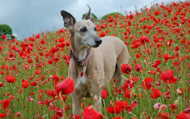 Hond tussen de rode bloemen