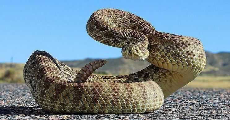 Elmas sırtlı çıngıraklı yılanı, Kuzey Amerika'daki en zehirli yılan türüdür.