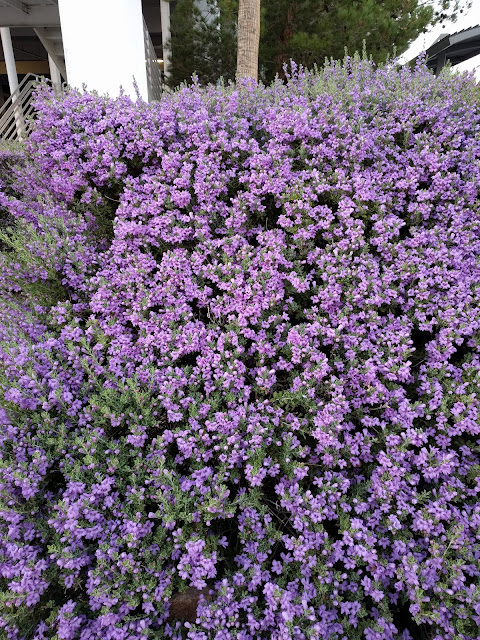 Gorgeous Purple Flowers in Las Vegas, NV