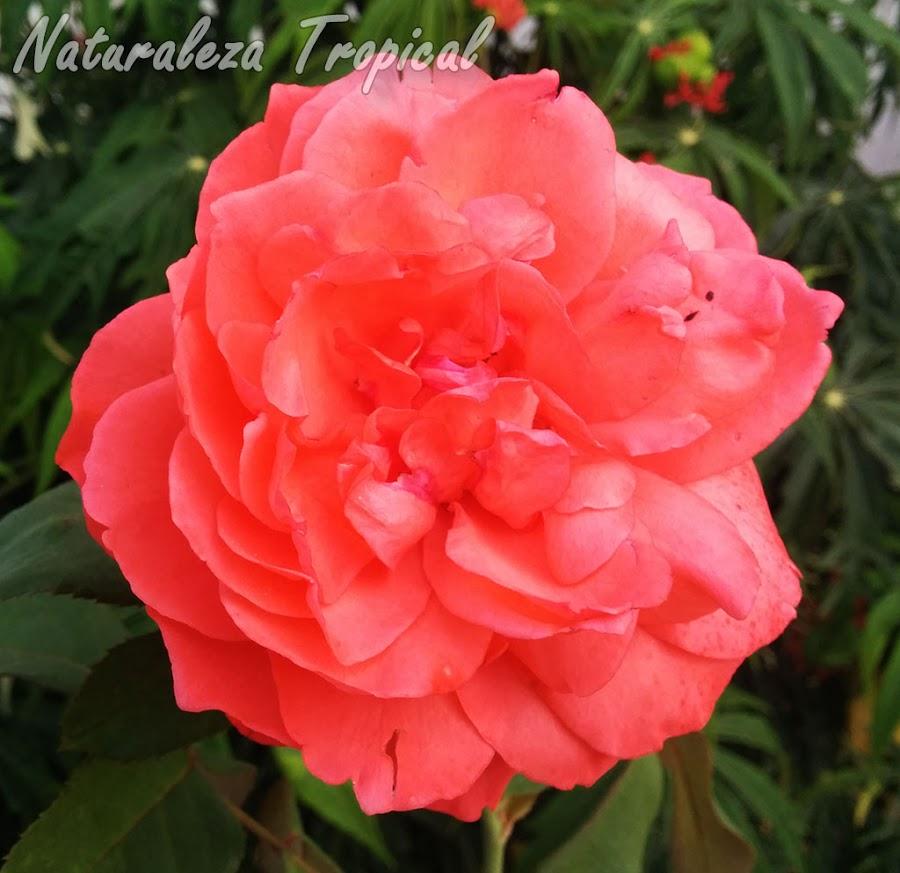 Flor de una Rosa