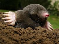 خلد - Mole