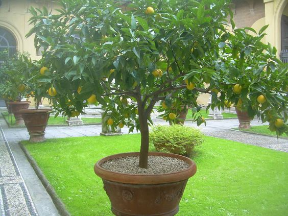eye for design  the old world charm of potted citrus trees      indoors and out