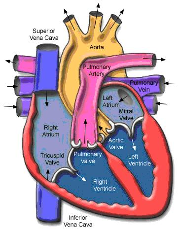 Heart anatomy jantung