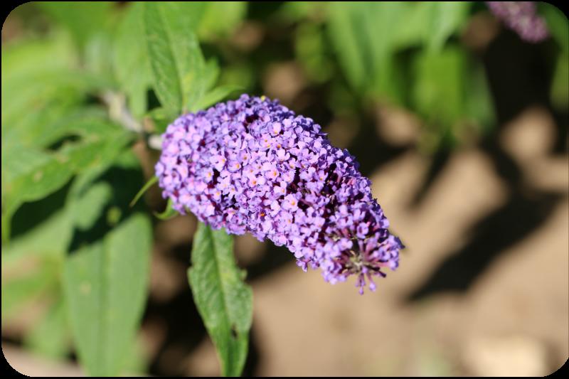 Blüte des Sommerflieders (Schmetterlingflieder) | Arthurs Tochter Kocht by Astrid Paul