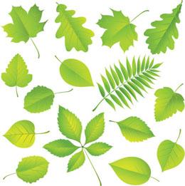 Identifier arbres par leurs feuilles