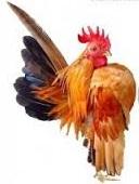 keuntungan beternak ayam serama