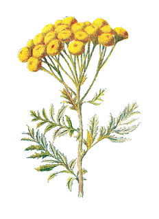 wildflower image tansy digital