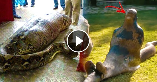 A Man Was Furiously Swallowed Alive By A Giant Snake! You ...