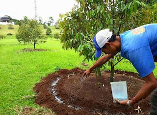 Cara dan Dosis pemupukan pohon Durian yang baru ditanam
