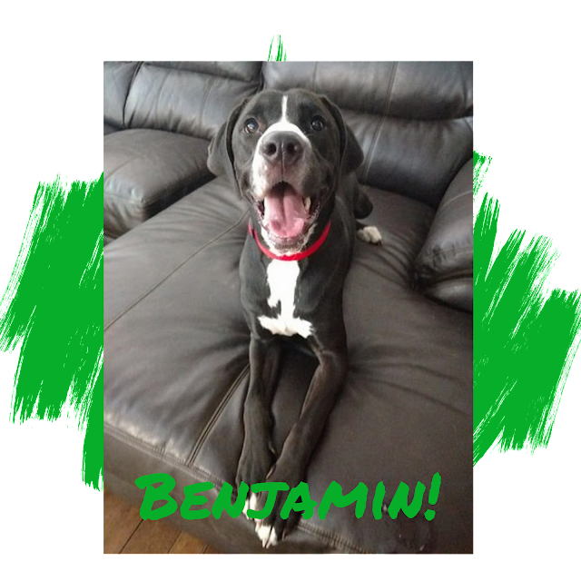 Black Labrador Retriever, Great Dane Adoption