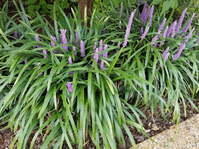Future plants by randy stewart liriope mondo grass grows large for a liriope with its wide dark green leaves reaching up to 26 x 15 inches in size on ideal sites blooms heavily with pure white flowers mightylinksfo
