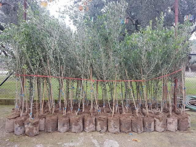 Πωλούνται ελαιόδεντρα 2ετή στην Αιτωλοακαρνανία
