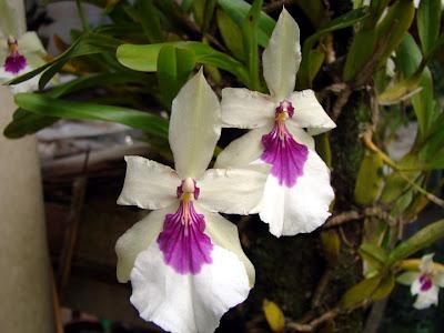 Orquídea Miltonia spectabilis semi-alba 'Laura Kayasima'