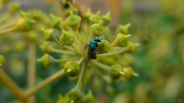Macro fotografia di insetto blu