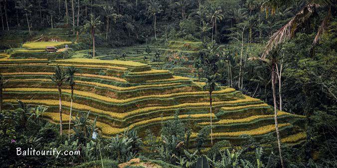 Tegalalang Rice Terrace, Full Day Bali Waterfalls and Kintamani Volcano Tour