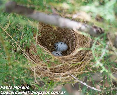 "alt=""nido de corbatita,aves de Mendoza,Sporophila caerulescens"""