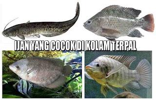 Ikan Yang Cocok Untuk Kolam Terpal