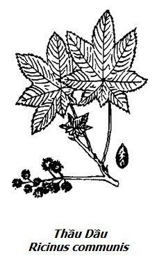 Hình vẽ Thầu Dầu - Ricinus communis - Nguyên liệu làm thuốc Nhuận Tràng và Tẩy