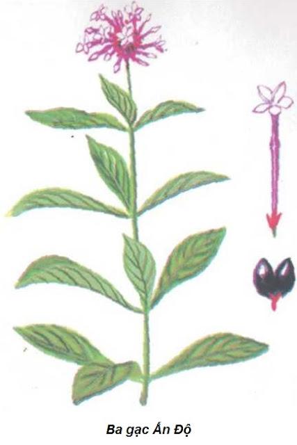 Cây Ba Gạc Ấn Độ-Rauwolfia serpentina-Nguyên liệu làm thuốc Hạ Huyết Áp