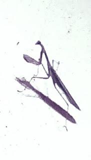 A large praying mantis.