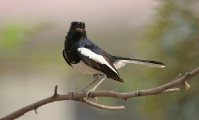 Tips Dan Cara Perawatan Burung Kacer Yang Baru Di Beli
