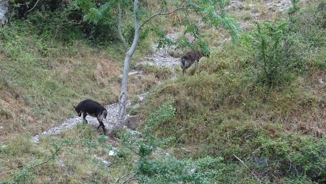 Wild goats in Cheddar gorge on my lands end to john o'groats hike