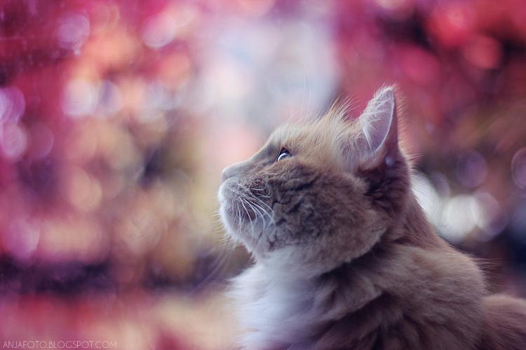 kot, koty, fotografia kotów, rudy kot, rude koty, ginger cat, bokeh, canon 50 1.4, akcje do photoshopa