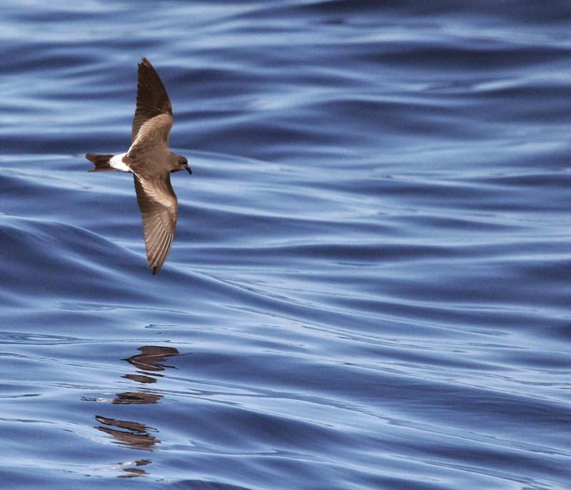 aves del Mar Argentino Oceanodroma leucorhoa