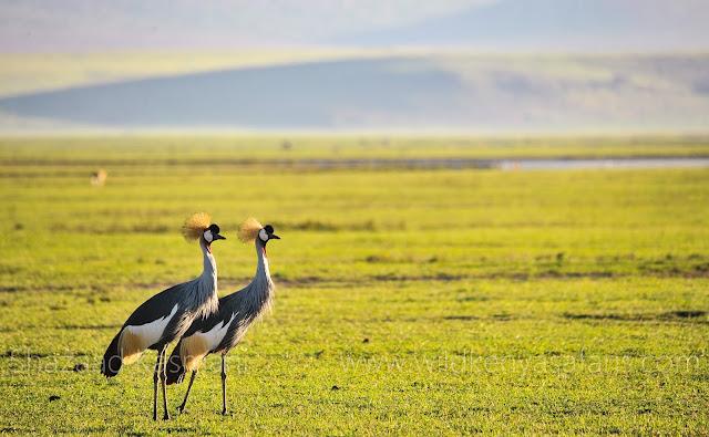 Crowned Crane, Birding in Kenya, Birding Safari Kenya, Wild Kenya Safaris, www.wildkenyasafaris.com, Shazaad Kasmani, Wildlife Kenya, Safaris from Diani Beach, Safaris from Mombasa, Safaris from Nairobi, Kenyan Tours, Kenyan safaris