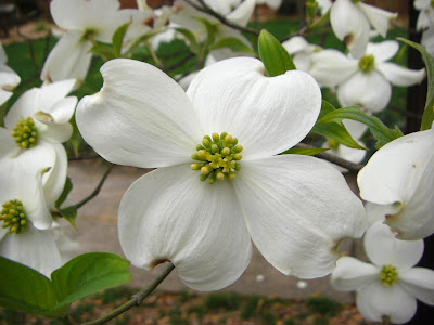 dogwood white blooms