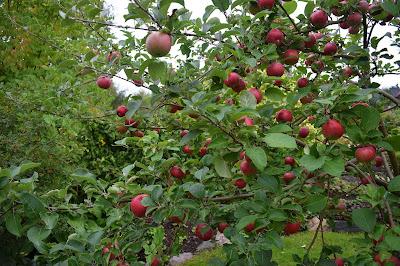 Äpple Malus domestica 'Aroma'