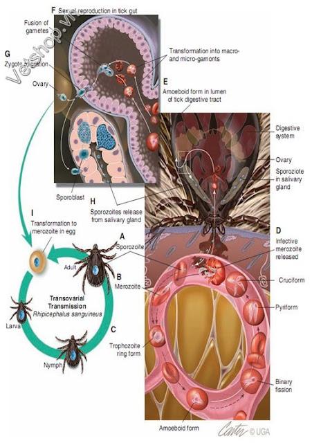 Hình 2. Vòng đời của B. canis