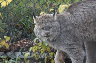 A Canada Lynx Dressed For The Weather.